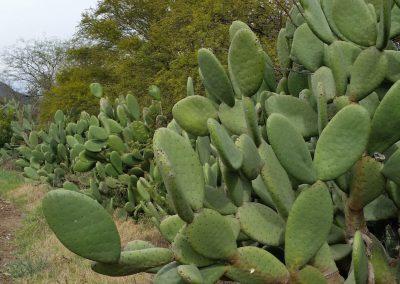 Edible Cactus